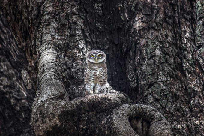Spotted Owlet by RobbieRoss - Beautiful Owls Photo Contest