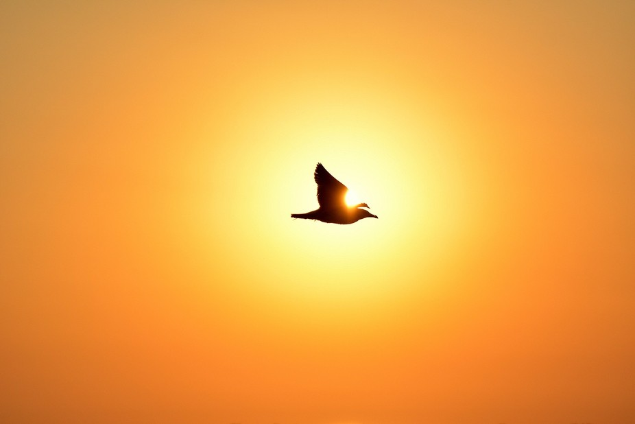 Seagull at sunset- the bay of Musura- Danube Delta (Romania)