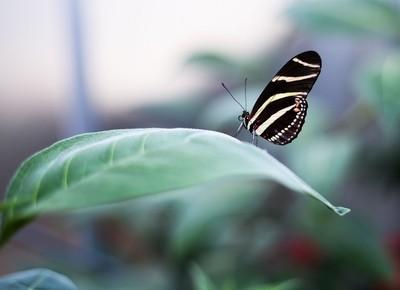 borboleta8