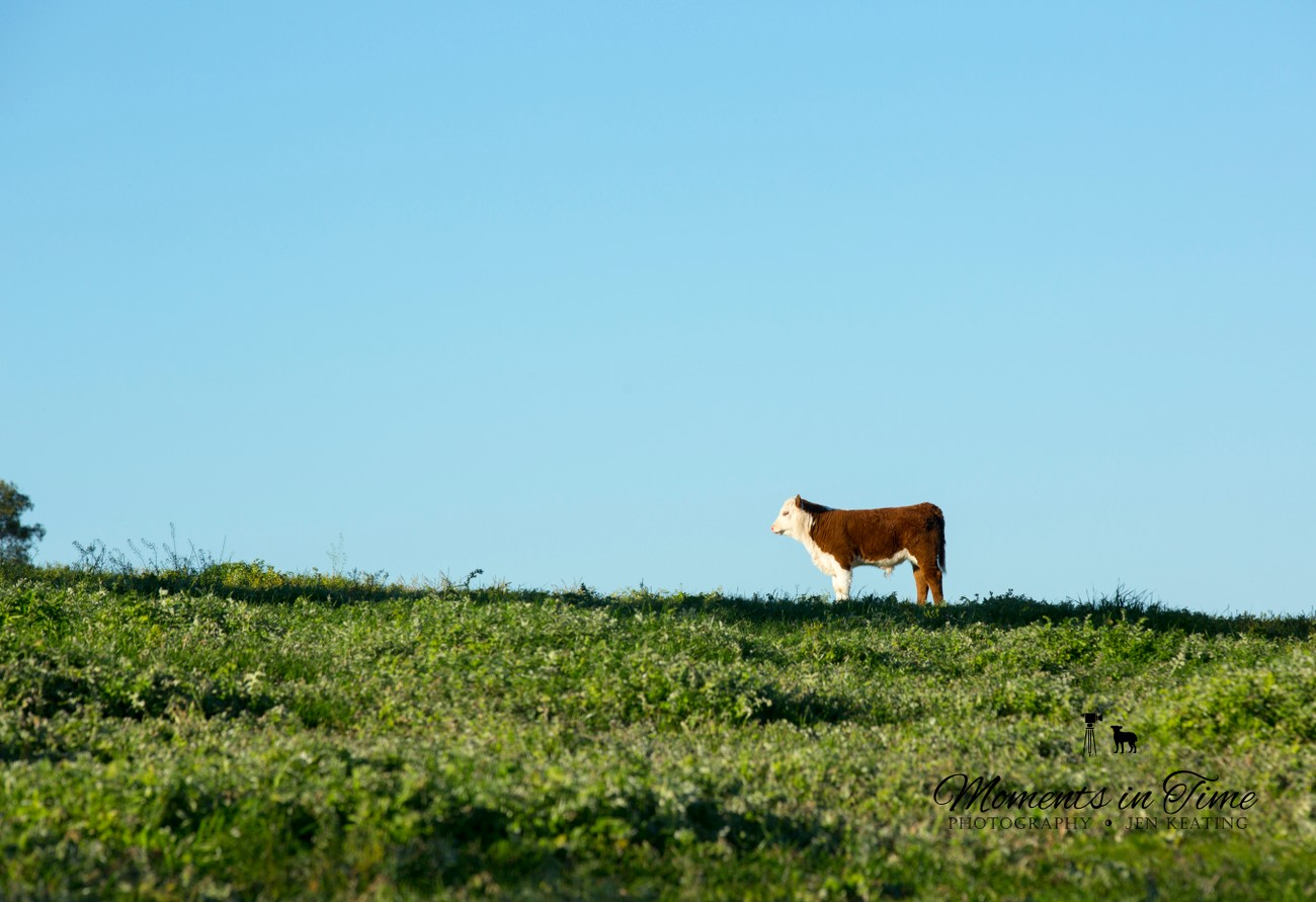 while looking towards the others this little calf pauses...