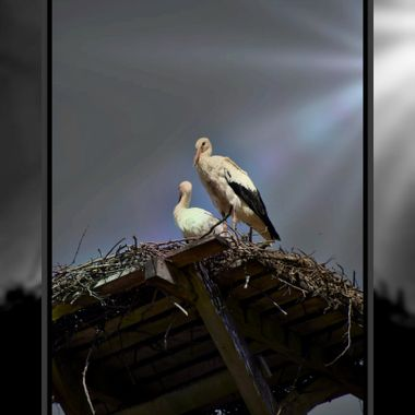 Storks in a rooftop Nest.