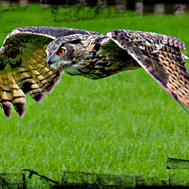 An Owl low flying in Yorkshire.
