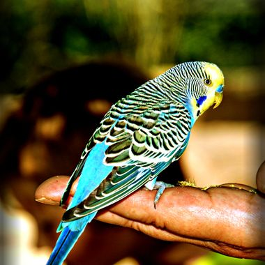 Tame budgie feeding from hand.