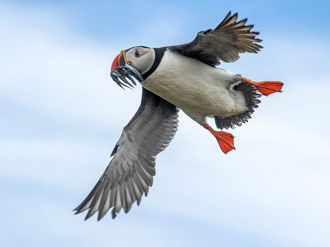 Atlantic Puffins by Jamie-MacArthur - Social Exposure Photo Contest Vol 11