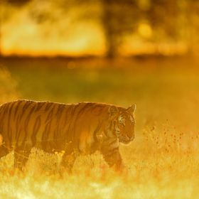 Tiger foggy morning