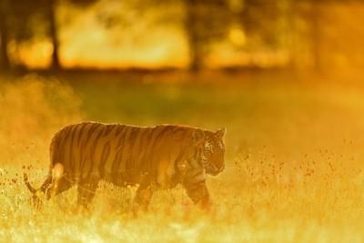 Tiger foggy morning