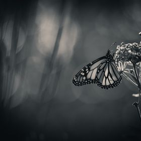 """The butterfly counts not months but moments, and has time enough.""  www.limebluphotography.com"