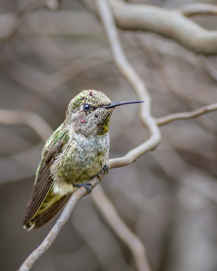 Sitting Pretty by kenfowkes - Hummingbirds Photo Contest