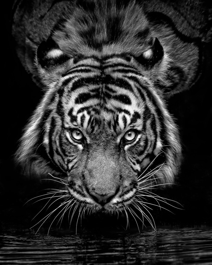 Look into my Eyes by anitarossview - Animals In Black And White Photo Contest
