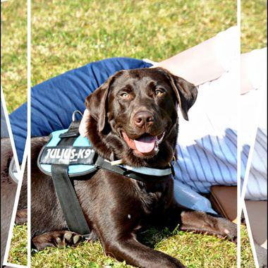 A guide dog for the deaf relaxing.