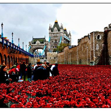 The Poppy Installation in the moat of The London Tower, with London Tower Bridge in the Background.
