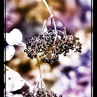 Manipulated picture of simple gin Berries.