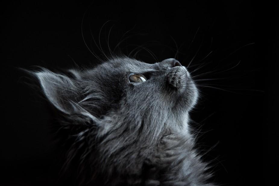 grey cute kitten looking up
