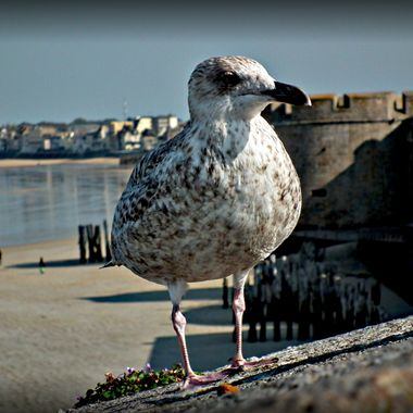 A lovely speckled Seagull at St Malo,France.