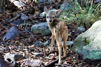 MG_4672, White Tail Deer Fawn, Ramsey Canyon, Huachuca Mountains Arizona, 11 August 17