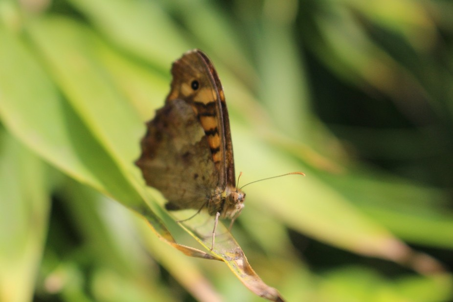 beautiful butterfly standing on a leaf, enjoying the sun...  Camera: Canon EOS 700D Aperture: f/5...