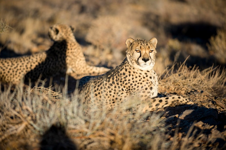 Me and my brother in law followed these 2 cheetas for over 2 hours, hoping for the right light an...