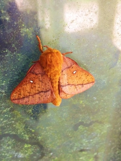 Reddish Orange Moth