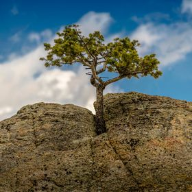 This little pine tree is growing between the cracks on a boulder near Ward, Colorado