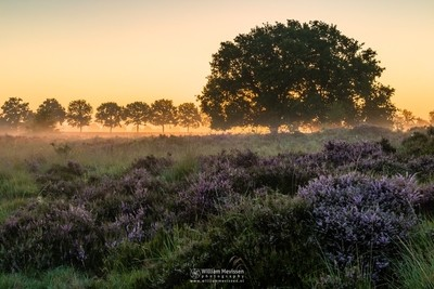 Blooming Heather Sunrise