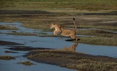 Lion leap