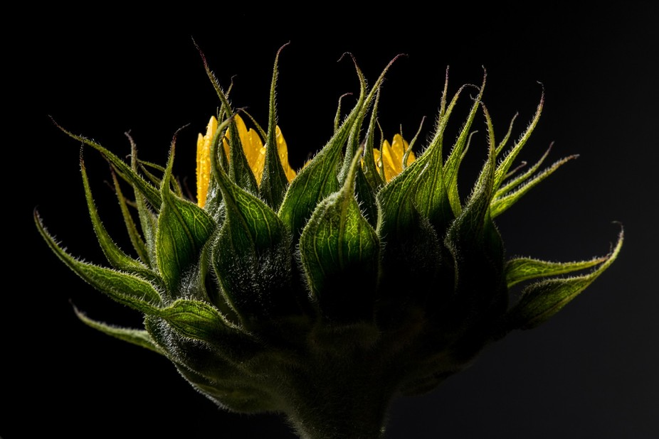 Backside of a Sunflower