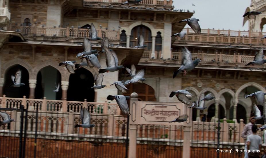 pigeons flying around albert museum jaipur.