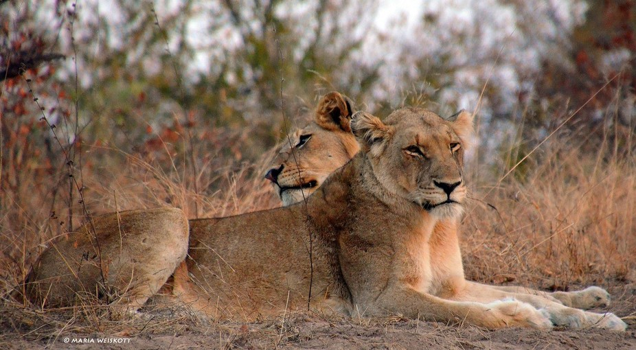 While on safari in Kruger National Park, South Africa, we were lucky to spot these siblings at re...