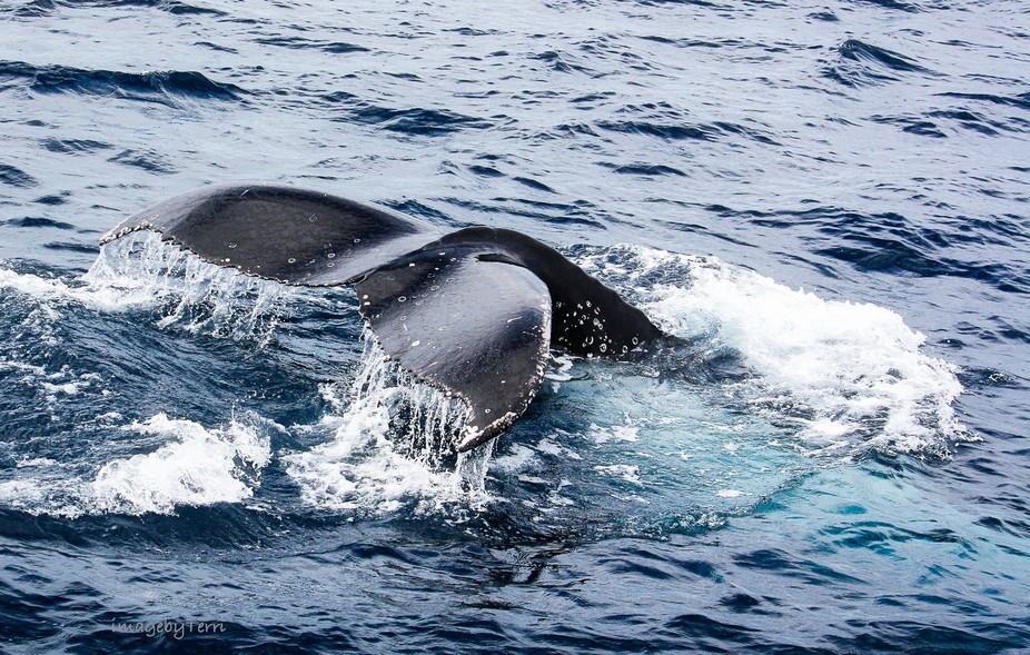 Whale watching is an experience you will never forget, especially when they come close to your bo...