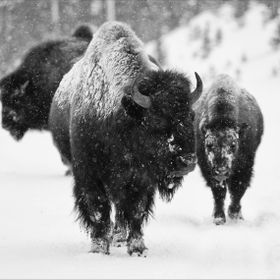 Bison in Yellowstone National Park during a snowstorm. They use the road as it is cleared of snow, to get from one area to another without using ...