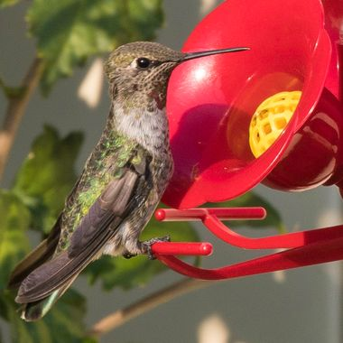 Humming bird at feeder looking for lunch