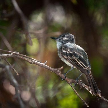 Jui, Puerto Rican Flycatcher, Myiarchus antillarum