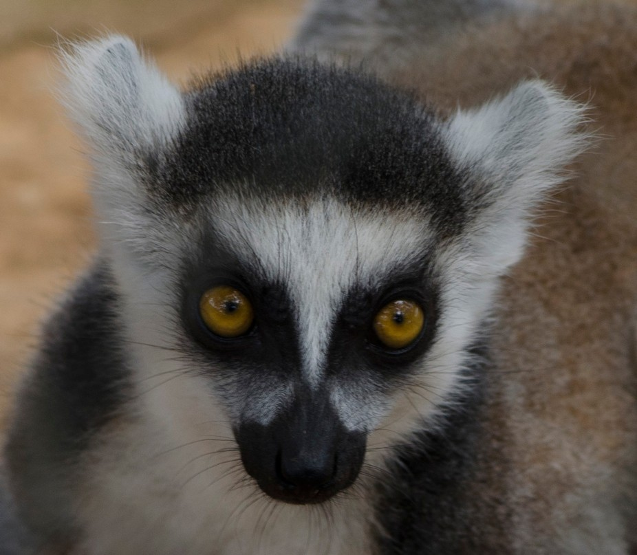 Photographed this baby lemur at the Exotic Resort Zoo in Johnson City, Texas this past week.
