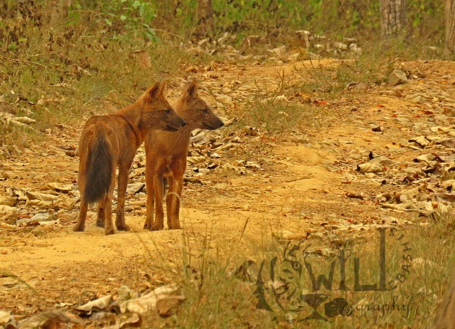 wild dogs of India, known as dhols are pack hunters, related with the african painted dogs, they ...