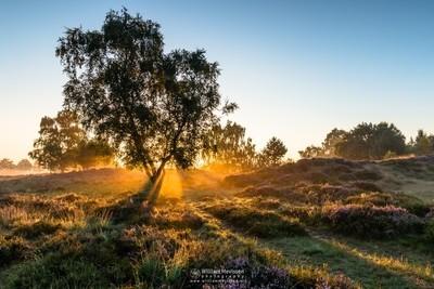Birch Sunrise
