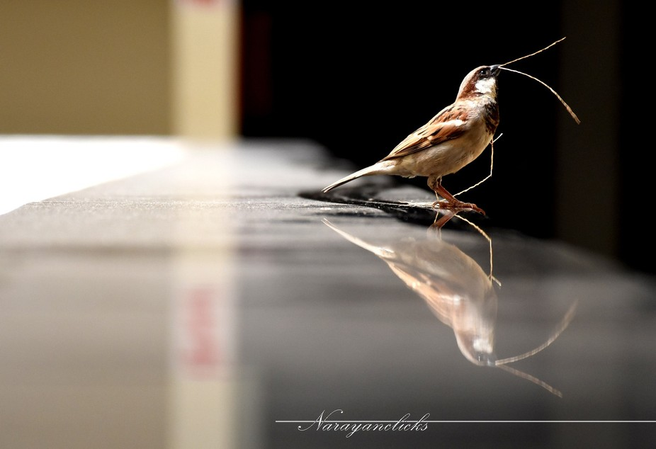 A house sparrow gathers strands of grass as she seeks to build her nest at Patto in Panaji