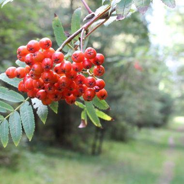 Rowan Berries on the Pathway at Nairn in August