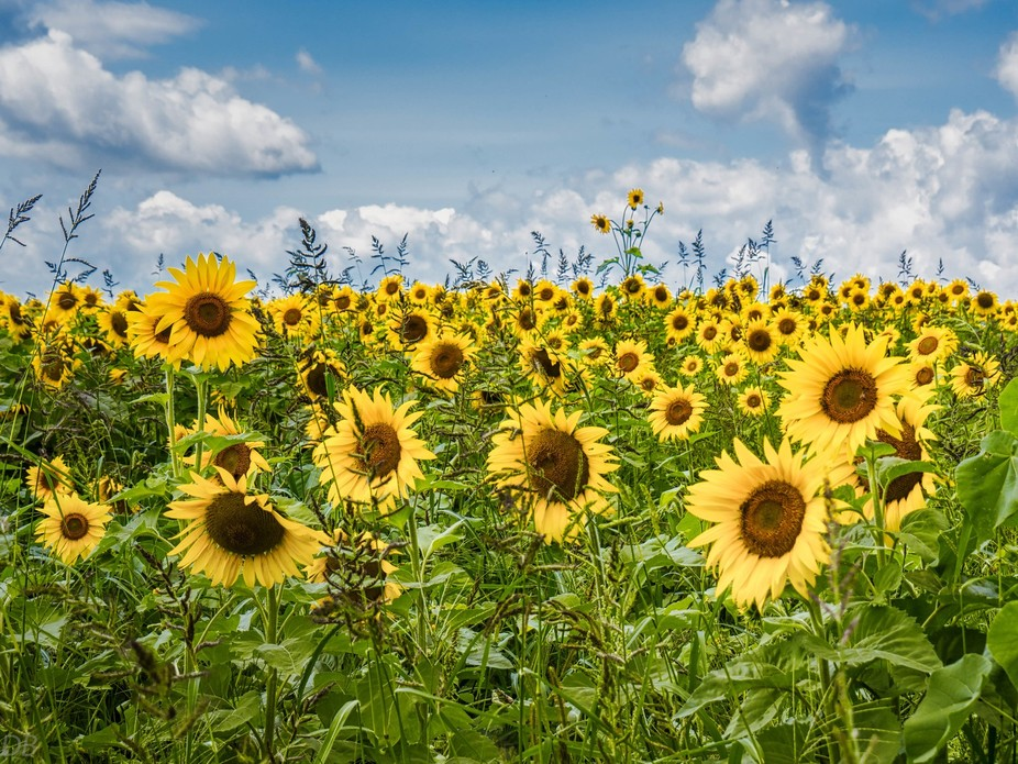 Even though I stepped in poison ivy to get this shot I just love sunflowers! I really liked how t...
