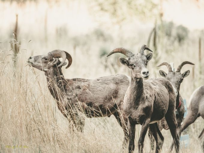 Goats by MickAlicic - Social Exposure Photo Contest Vol 11