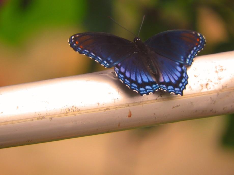 Red Spott4ed Purple Butterfly