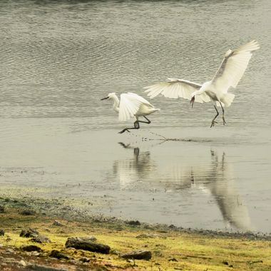 An Egret was quietly fishing when another suddenly appeared ... a possible turf war .. the first egret did not stop to argue.