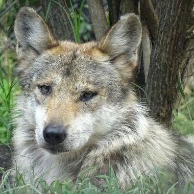 Wolf gaze