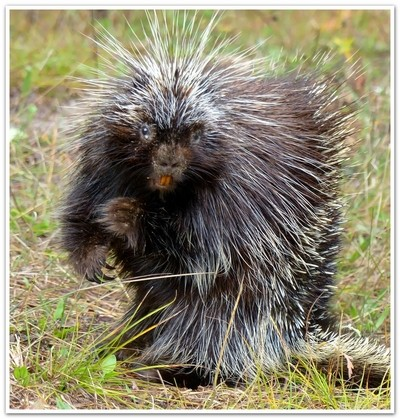 Scary porcupine