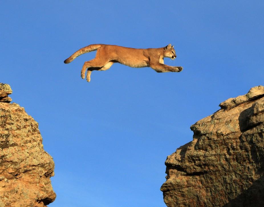 Mountain Lion Jumping Between Rocks