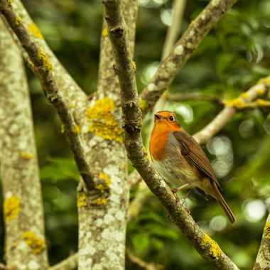 A Robin in woodland habitat