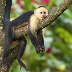 This very relaxed capuchin monkey was photographed on a farm in rural Costa Rica.