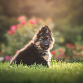Photographing dogs (especially puppies) is my favorite!  Mika is just 9 weeks old here and we got lucky and had gorgeous sunshine to work with!  ...