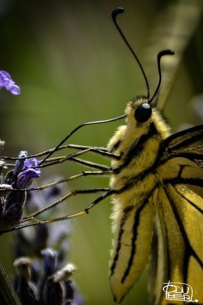 Wonderful Tiger Butterfly