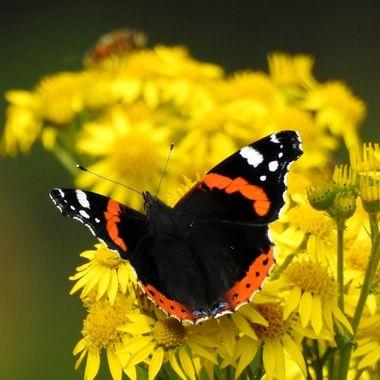Butterflies out enjoying the sunshine today.