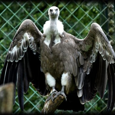 Vulture photographed at Münster Zoo Germany Aug 21st 2017.